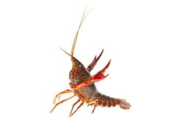 Louisiana Crayfish (Procambarus clarkii) in defensive posture, Nijmegen, Netherlands  -  Jelger Herder/ Buiten-beeld