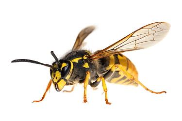 Common Wasp (Vespula vulgaris), Kekerdom, Netherlands  -  Jelger Herder/ Buiten-beeld