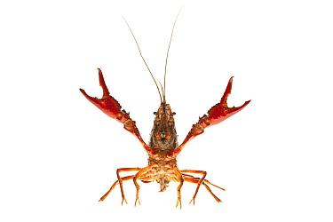 Louisiana Crayfish (Procambarus clarkii)in defensive posture, Nijmegen, Netherlands  -  Jelger Herder/ Buiten-beeld