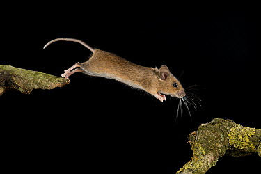 Wood Mouse (Apodemus sylvaticus) jumping, Eindhoven, Netherlands  -  Paul van Hoof/ Buiten-beeld