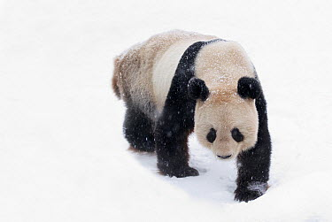 Giant Panda (Ailuropoda melanoleuca) walking in snow, Vienna, Austria  -  Misja Smits/ Buiten-beeld