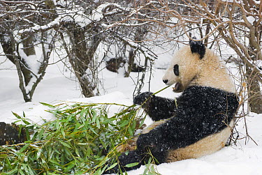 Giant Panda (Ailuropoda melanoleuca) eating bamboo, Vienna, Austria  -  Misja Smits/ Buiten-beeld