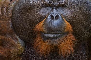 Orangutan (Pongo pygmaeus) dominant male, Matang Wildlife Centre, Malaysia  -  Misja Smits/ Buiten-beeld