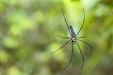 Golden Orb-web Spider (Nephila pilipes), Sarawak, Borneo, Malaysia  -  Misja Smits/ Buiten-beeld