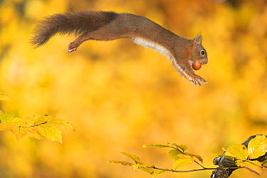 Eurasian Red Squirrel (Sciurus vulgaris) carrying a hazelnut, Hof van Twente, Netherlands  -  Paul van Hoof/ Buiten-beeld