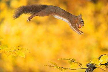 Eurasian Red Squirrel (Sciurus vulgaris) carrying a hazelnut, Hof van Twente, Netherlands  -  Paul van Hoof/ Buiten-beeld
