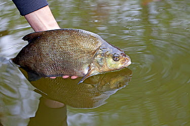 Common Bream (Abramis brama) being released by an angler, Broek op Langedijk, Netherlands  -  Jelger Herder/ Buiten-beeld