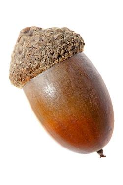 English Oak (Quercus robur) acorn, Nijmegen, Netherlands  -  Jelger Herder/ Buiten-beeld