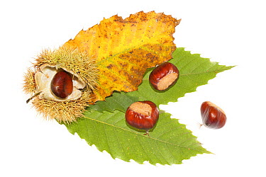 European Chestnut (Castanea sativa) leaves and nuts, Nijmegen, Netherlands  -  Jelger Herder/ Buiten-beeld