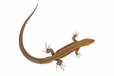 Viviparous Lizard (Zootoca vivipara), South Limburg, Netherlands  -  Jelger Herder/ Buiten-beeld