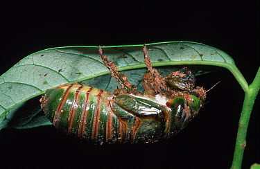 Cicada (Cicadidae) emerging from nymphal case, Palmerston National Park, Australia  -  Thomas Marent
