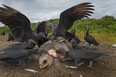 American Black Vulture (Coragyps atratus) group feeding on Olive Ridley Sea Turtle (Lepidochelys olivacea) carcass of female that died after nesting, Ostional Beach, Costa Rica  -  Ingo Arndt