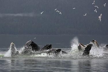Humpback Whale (Megaptera novaeangliae) group cooperatively gulp feeding on herring, Alaska  -  Matthias Breiter