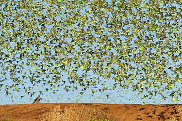 Brown Goshawk (Accipiter fasciatus) and Budgerigar (Melopsittacus undulatus) flock, Wannoo, Western Australia, Australia  -  Roland Seitre