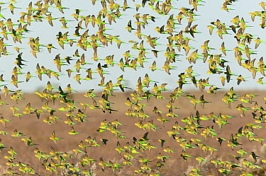 Budgerigar (Melopsittacus undulatus) flock flying, Arubiddy, Western Australia, Australia  -  Roland Seitre