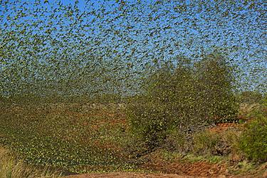 Budgerigar (Melopsittacus undulatus) flock taking flight from waterhole, Western Australia, Australia  -  Roland Seitre