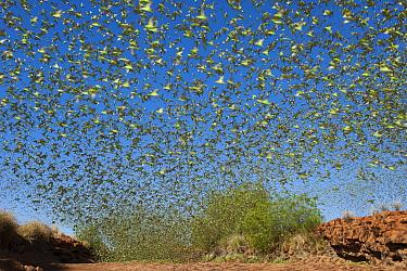 Budgerigar (Melopsittacus undulatus) flock taking flight in desert, Western Australia, Australia  -  Roland Seitre