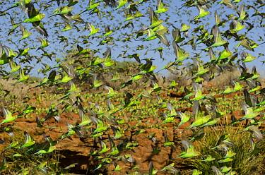 Budgerigar (Melopsittacus undulatus) flock flying, Western Australia, Australia  -  Roland Seitre