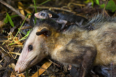Common Opossum (Didelphis marsupialis) mother and young, Panama City, Panama  -  Roland Seitre
