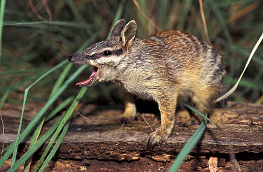 Numbat (Myrmecobius fasciatus) yawning at night, native to Australia  -  Roland Seitre