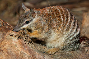Numbat (Myrmecobius fasciatus) foraging for insects, Cleland Wildlife Park, South Australia, Australia  -  Roland Seitre