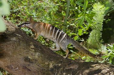 Numbat (Myrmecobius fasciatus), Perth Zoo, Western Australia, Australia  -  Roland Seitre
