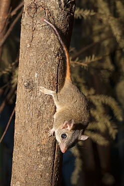 Red-tailed Phascogale (Phascogale calura) climbing down tree at night, Taronga Zoo, Sydney, New South Wales, Australia  -  Roland Seitre