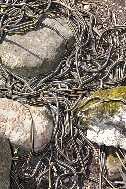 Red-sided Garter Snake (Thamnophis sirtalis parietalis) group mating after hibernation, Narcisse, Manitoba, Canada  -  Matthias Breiter