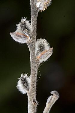 Willow (Salix sp) catkins, Kenora, Ontario, Canada  -  Matthias Breiter