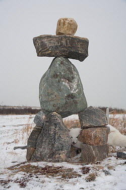 Arctic Fox (Alopex lagopus) and inuksuk, Churchill, Manitoba, Canada  -  Matthias Breiter