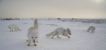 Arctic Fox (Alopex lagopus) pups playing on tundra, Churchill, Manitoba, Canada  -  Matthias Breiter