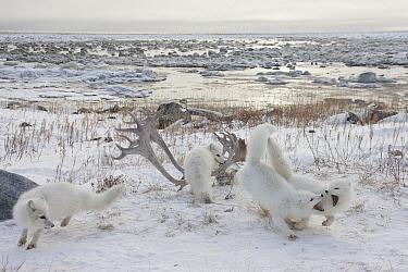 Arctic Fox (Alopex lagopus) group scavenging at Caribou (Rangifer tarandus) skull and antlers, Churchill, Manitoba, Canada  -  Matthias Breiter