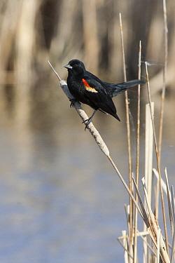 Red-winged Blackbird (Agelaius phoeniceus) male, Oak Hammock Marsh, Manitoba, Canada  -  Matthias Breiter