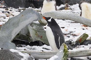 Gentoo Penguin (Pygoscelis papua) feeding on whale bone for calcium, Port Lockroy, Weincke Island, Antarctic Peninsula, Antarctica  -  Matthias Breiter