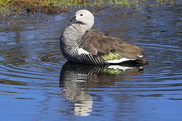Upland Goose (Chloephaga picta) male in water, Estancia Harberton, Tierra del Fuego, Argentina  -  Matthias Breiter