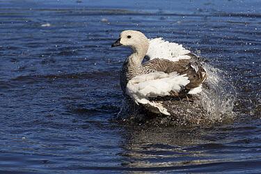 Upland Goose (Chloephaga picta) male bathing, Estancia Harberton, Tierra del Fuego, Argentina  -  Matthias Breiter
