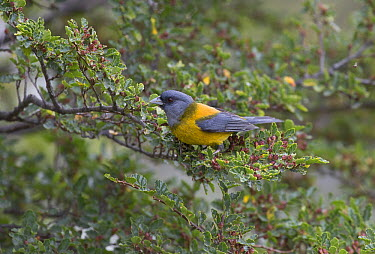 Patagonian Sierra-Finch (Phrygilus patagonicus), Tierra del Fuego National Park, Argentina  -  Matthias Breiter