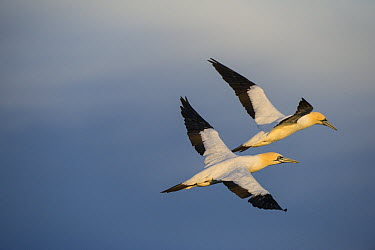 Cape Gannet (Morus capensis) pair flying, Eastern Cape, South Africa  -  Pete Oxford
