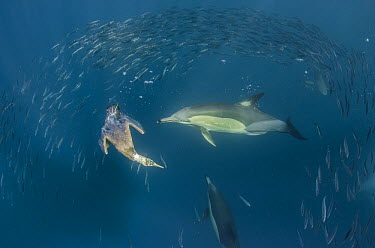 Long-beaked Common Dolphin (Delphinus capensis) pair and diving Cape Gannet (Morus capensis) hunting Pacific Sardines (Sardinops sagax), Eastern Cape, South Africa  -  Pete Oxford