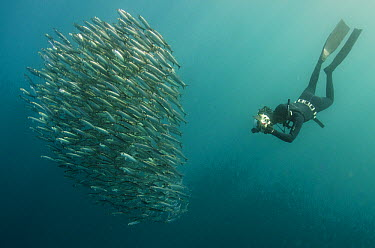 Pacific Sardine (Sardinops sagax) baitball and snorkeler, Eastern Cape, South Africa  -  Pete Oxford