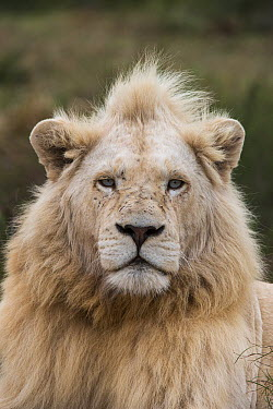 African Lion (Panthera leo) male, bred with half white genes, Inkwenkwezi Private Game Reserve, Eastern Cape, South Africa  -  Pete Oxford