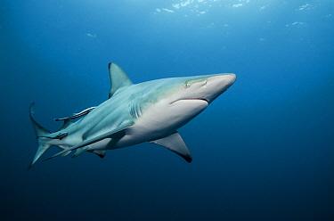 Black-tip Shark (Carcharhinus limbatus) with two attached Remoras (Remora remora), Umkomaas, Kwazulu Natal, South Africa  -  Pete Oxford