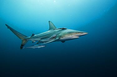 Black-tip Shark (Carcharhinus limbatus) with Remoras (Remora remora), Umkomaas, Kwazulu Natal, South Africa  -  Pete Oxford