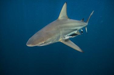 Black-tip Shark (Carcharhinus limbatus) and Remora (Remora remora), Umkomaas, Kwazulu Natal, South Africa  -  Pete Oxford