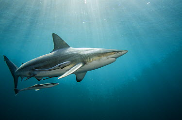 Black-tip Shark (Carcharhinus limbatus) and Remora (Remora remora), Umkomaas, Kwazulu Natal, South Africa  -  Pete Oxford