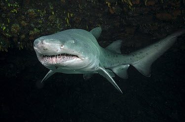 Grey Nurse Shark (Carcharias taurus), Umkomaas, Kwazulu Natal, South Africa  -  Pete Oxford