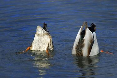Mallard (Anas platyrhynchos) pair dabbling, Lake Zurich, Switzerland  -  Thomas Marent