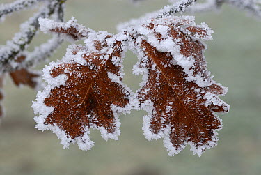 Oak (Quercus sp) leaves covered in frost, Switzerland  -  Thomas Marent