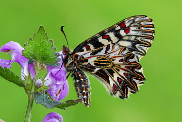 Southern Festoon (Zerynthia polyxena) butterfly, Po Valley, Italy  -  Thomas Marent