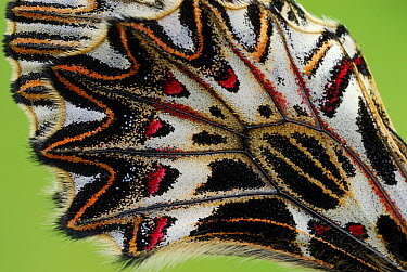 Southern Festoon (Zerynthia polyxena)butterfly wing detail, Po Valley, Italy  -  Thomas Marent